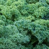 Curly_Kale