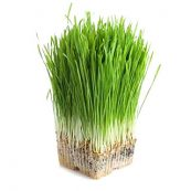 wheatgrass sprouts