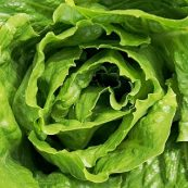 Lettuce_Cos